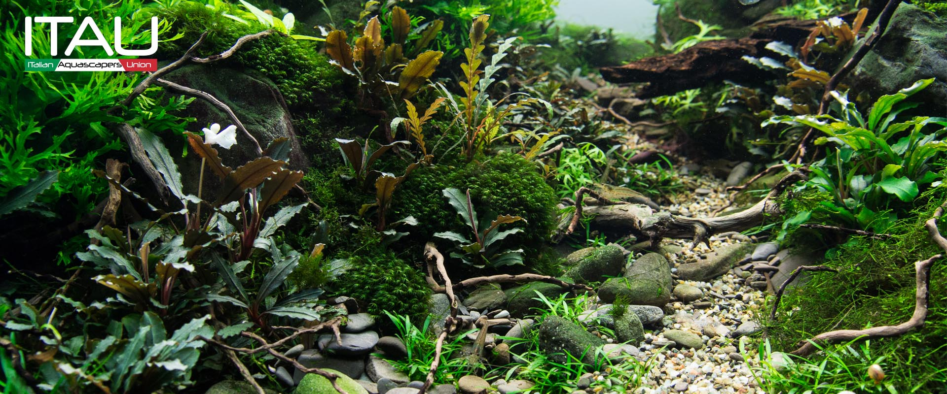 Lovely ITAU   Video Tutorial Aquascape Nature Aquarium Di Giuseppe Nisi